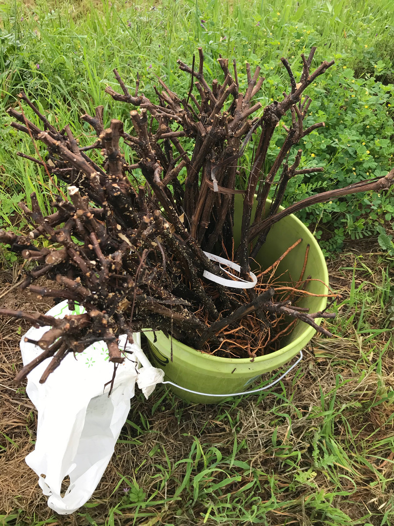 Burnt vines collected in a bucket