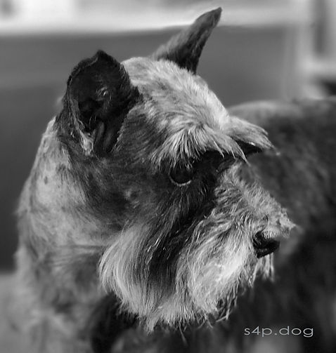 Miniature Schnauzer beauty