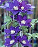 Clematis vines are toxic to dogs and cats. Best to know which plants are toxic to pets.