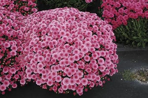 Chrysanthemum, a popular fall flower, is toxic to dogs and cats. Seminole Trail Animal Hospital