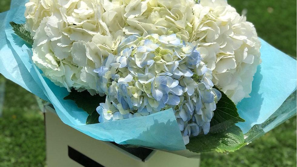 Blue and White Hydrangeas