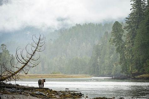 Great Bear Rainforest Bear at Water.jpg