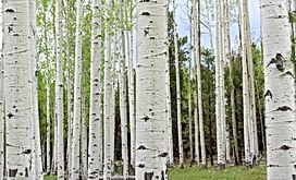 birch bark.jpg