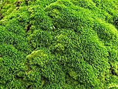 irish moss.jpg