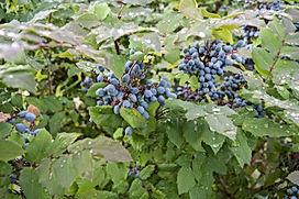 wild oregon grape.jpg