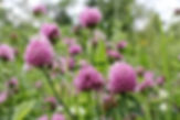red clover.jpg
