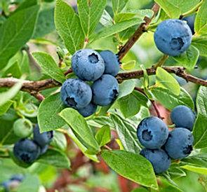 wild blueberries.jpg