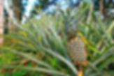 bromelain pineapple.jpg