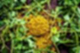 fenugreek seeds.jpg