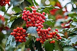 hawthorn berry.jpg