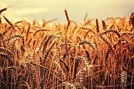 oat straw.jpg