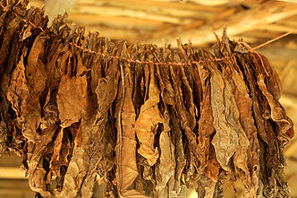 Group Tobacco Leaves.jpg
