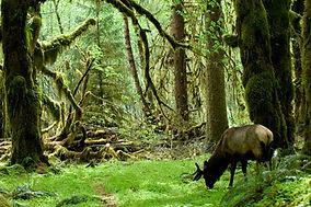 Moose in forest.jpg