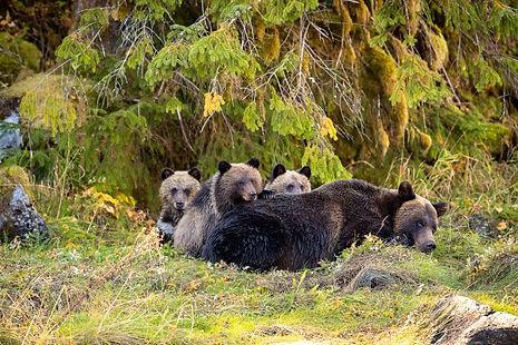 Great Bear Rainforest Bear in Woods.jpg