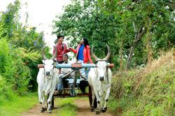 Bullock Cart Ride