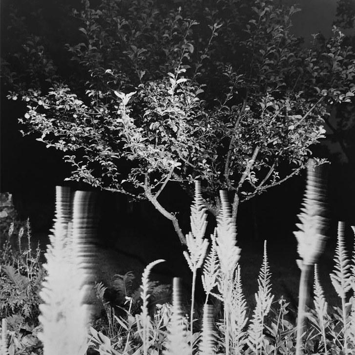 Apple Tree, Astilbe