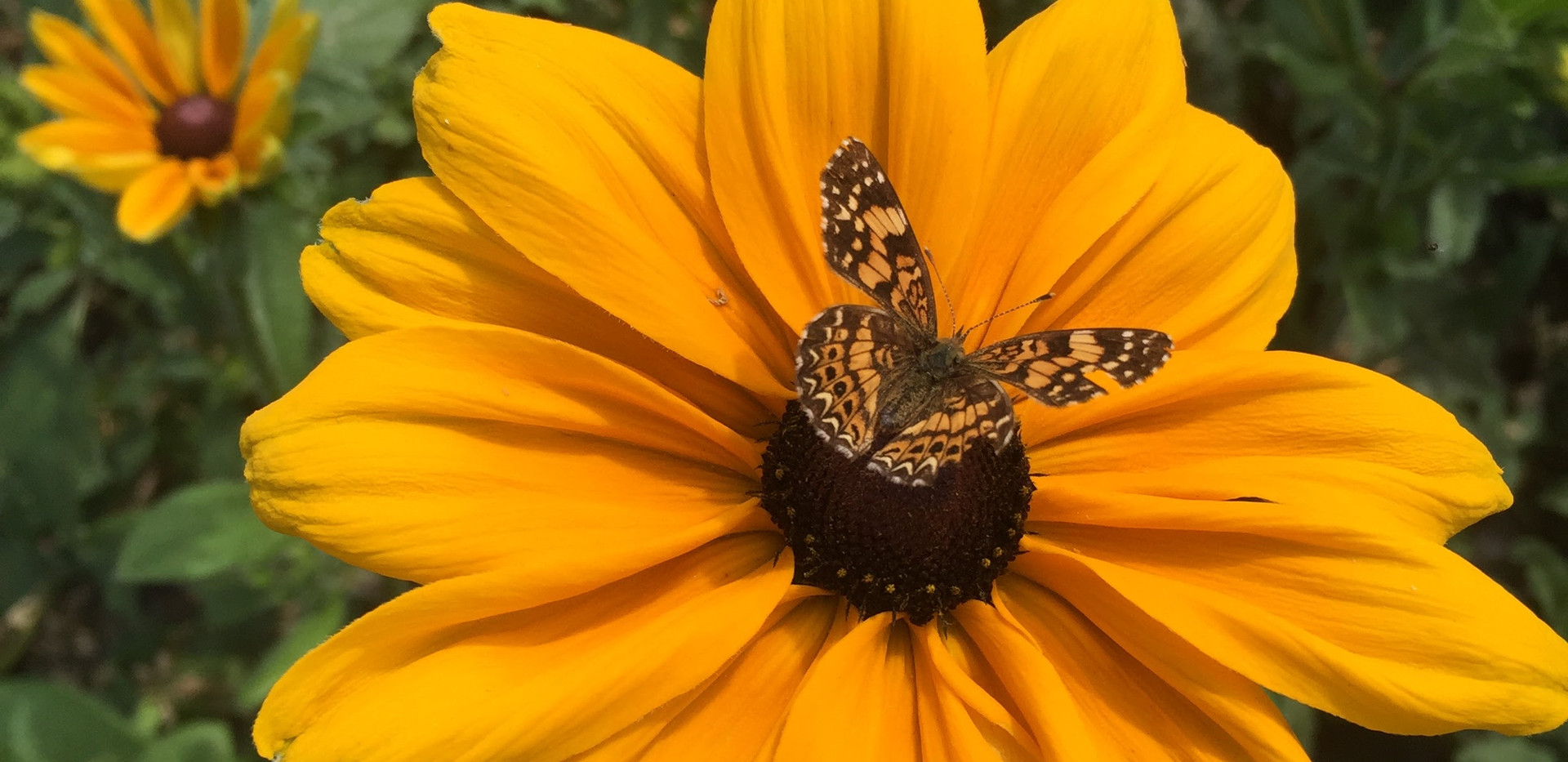 Rudbeckia and Butterfly