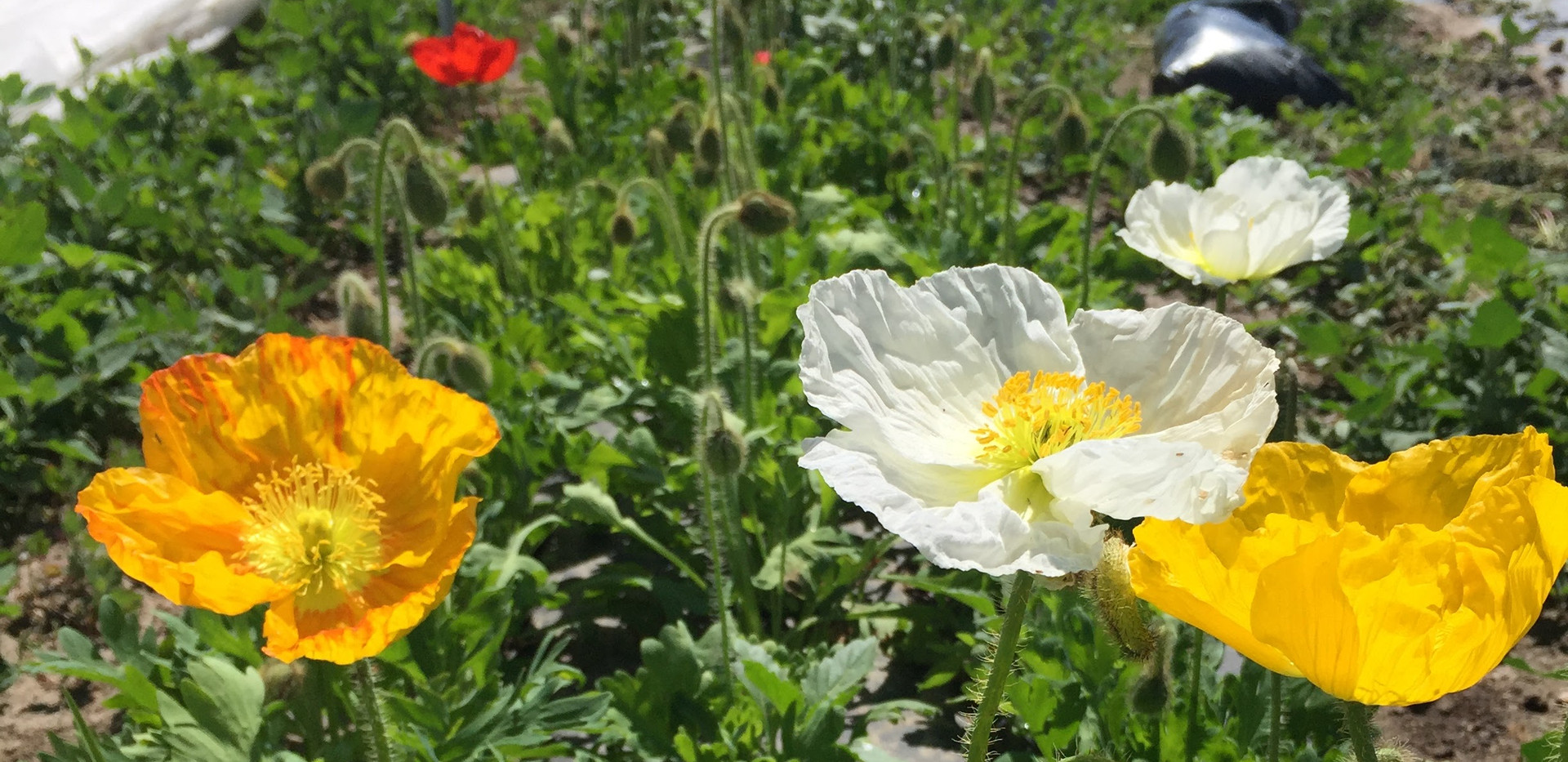 Iceland Poppies!