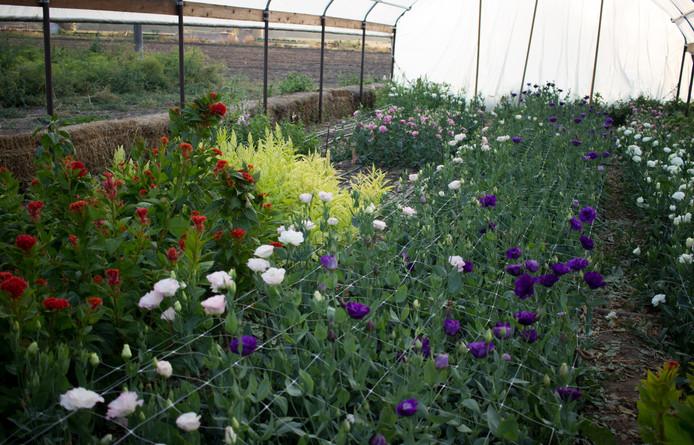 Flowers in the Hoop House