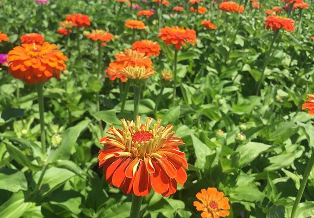 My Zinnias in Full Bloom