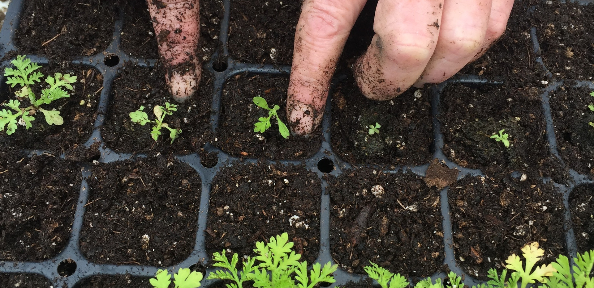 Transplanting Up Artemisia