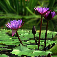 waterlillies3.jpg