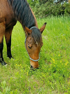 horse named Rocky grazing