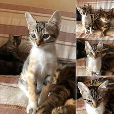 chaton la Patte sur le Coeur.jpg