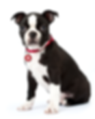 Boston Terrier Puppy with PET tag.png