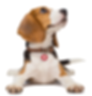 Beagle iStock with PET tag.png