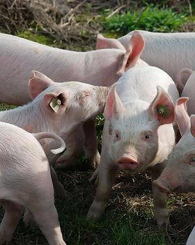 farm-sweet-cute-young-pasture-mammal-929