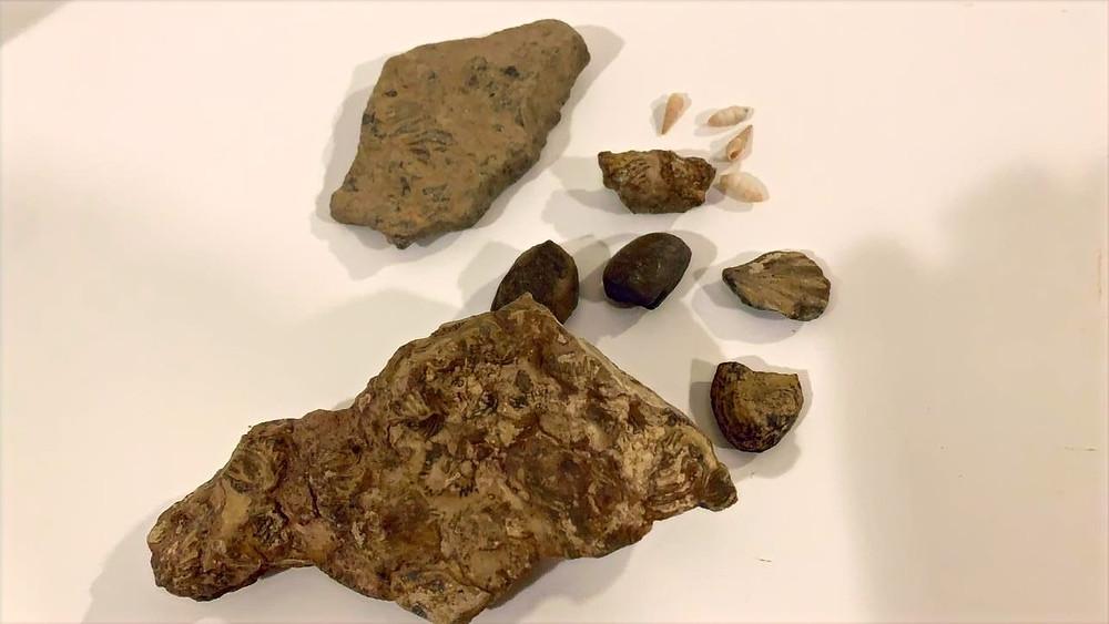Fósiles recogidos de Jebel Jais, la montaña más alta de Emiratos Árabes Unidos.