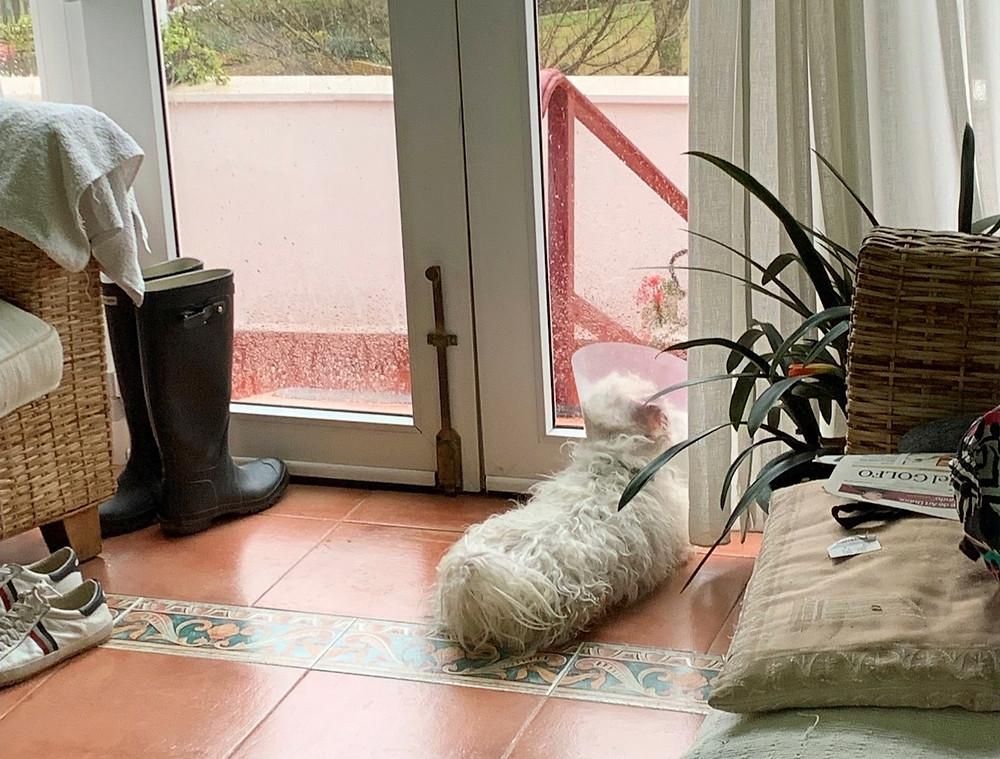 Tobi, tras la operación, observando una tarde de lluvia. (Marta Pérez)