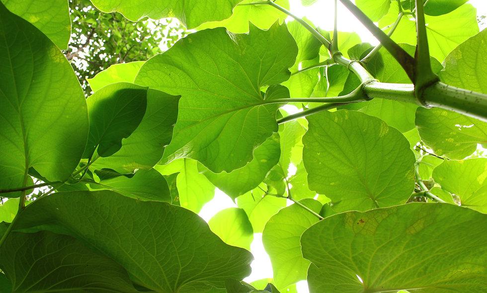 Hoja Santa Plant    Piper auritum