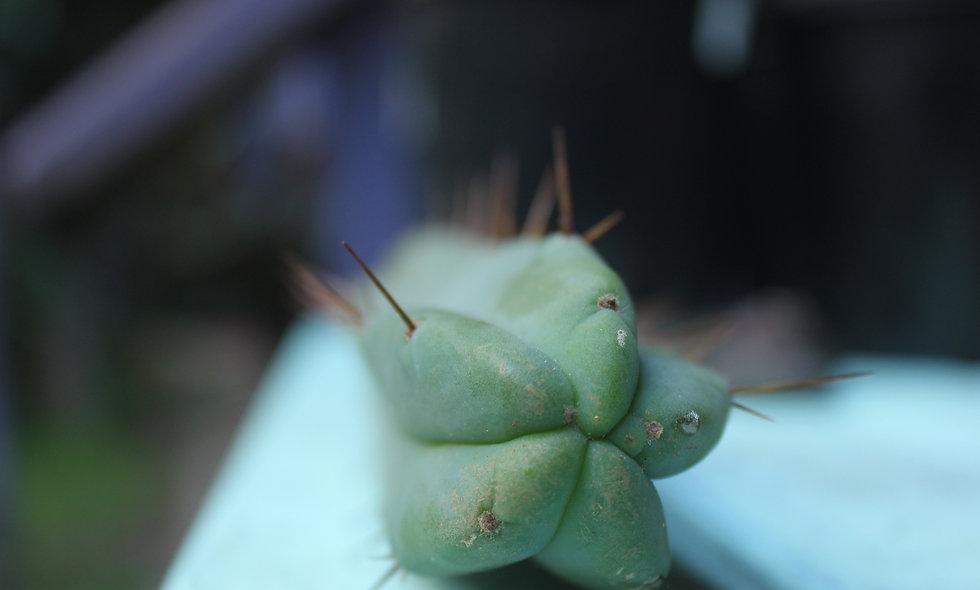 Eileen Cactus Tip Cutting || Trichocereus bridgesii var. Eileen
