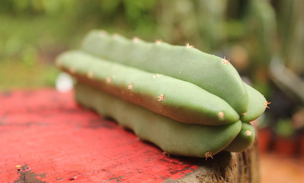San Pedro Tip Cutting    Trichocereus pachanoi