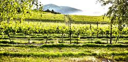 Vineyard Survey