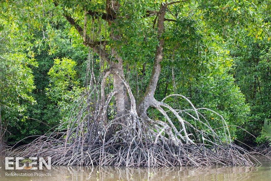 Indonesia_2018_Giant mangrove.jpg