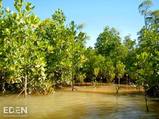 Grove of Mangroves