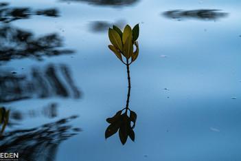 Single Mangrove
