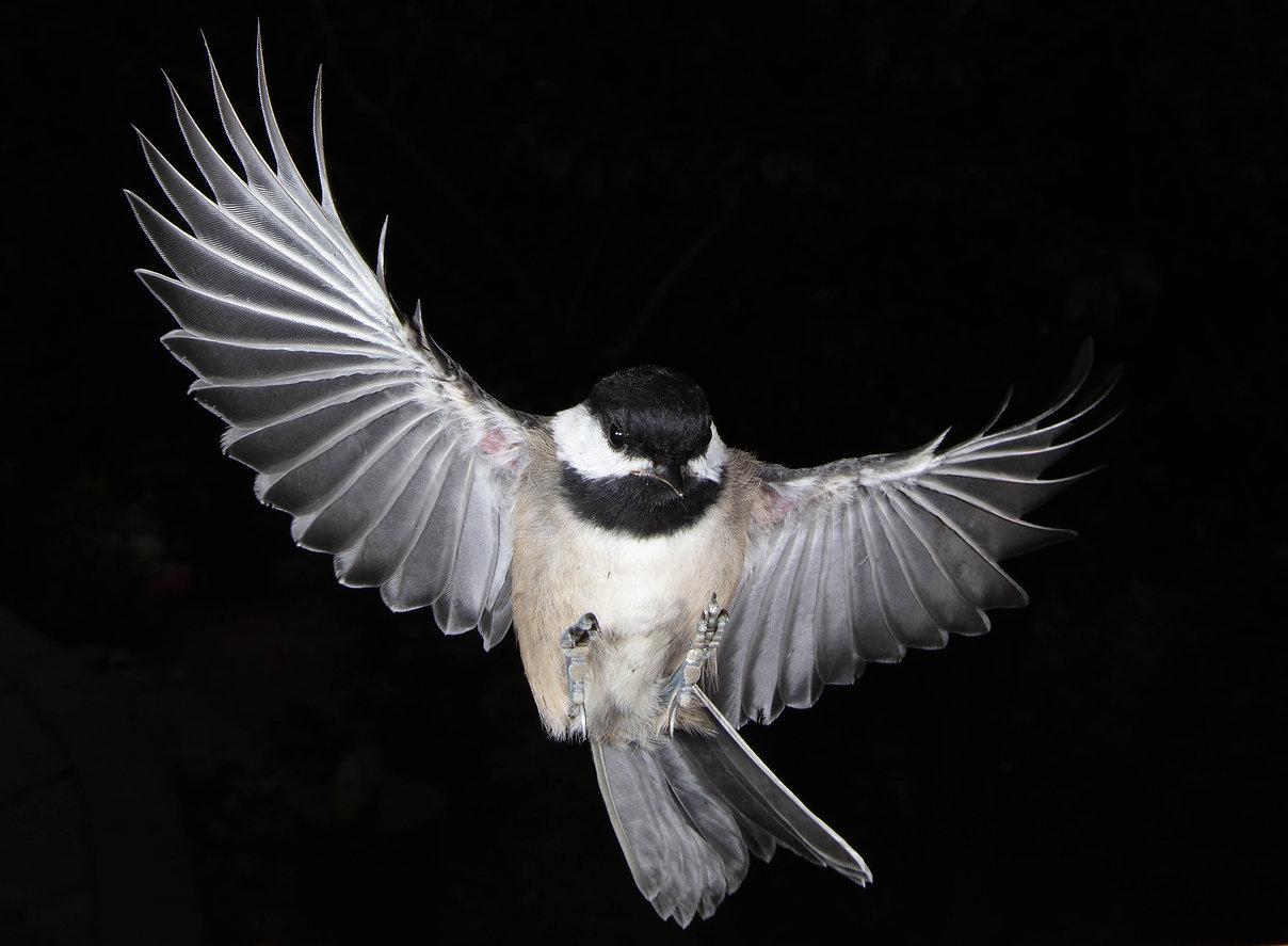 Chickadee- Sabre.jpg.jpg