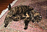 tortoiseshell female cat laying on persian rug cleaning face cat sitting client named madison