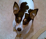 small black and white dog with pointed ears dog sitting client named sweet pea