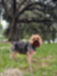 Yorkshire terrier on leash by live oak tree with tongue out dog walking client Jackson