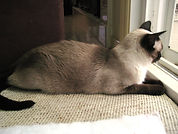 Male Siamese cat laying on window perch looking out window cat sitting client named sammie p