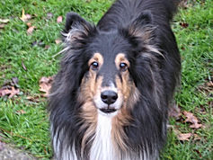 beautiful sheltie standing in grass looking into camera pet sitting client ripken