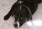 male black dog with white markings on face wearing a pinch collar laying on tile floor dog sitting client named gibson
