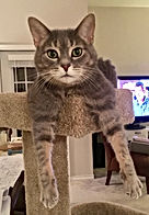 gray and white tabby cat laying on a cat tree with front paws hanging down