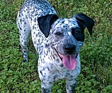 female dalmation mix standing in grass with tongue hanging out dog walking client dolly