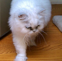 white-persian-cat-walking-madam-butterfl